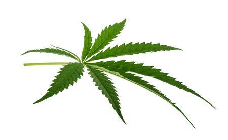 Marijuana leaf isolated on white without shadow Stock Photo
