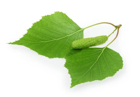 Birch leaves isolated white background