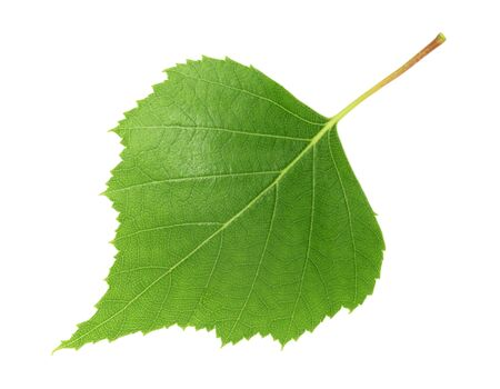 Birch leaf isolated white background Stock fotó