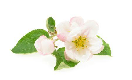 blossom of Apple flower isolated white background