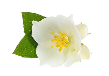 jasmine isolated on white background without shadow Stock fotó