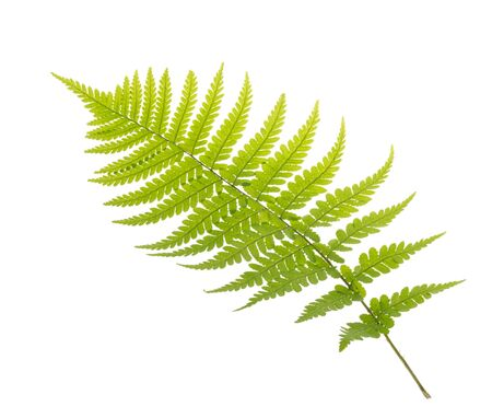 Fern leaves isolated on white without shadow