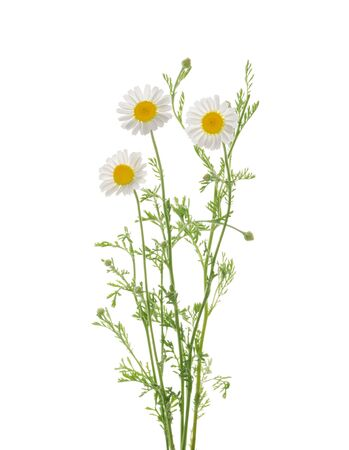 Chamomiles isolated on white background without shadow with clipping path Banque d'images