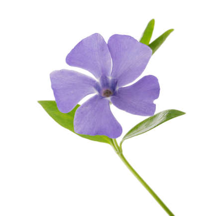 Periwinkle, Vinca minor isolated on white clipping path