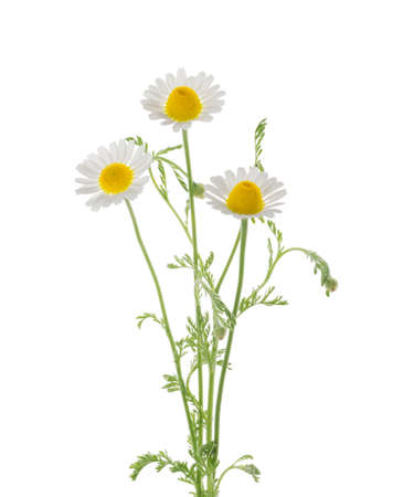 Chamomiles daisy flower isolated on white background Banque d'images