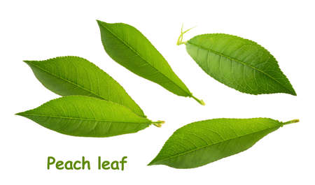 Peach leaves isolated on white background without shadow Banque d'images