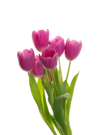 purple tulip flowers isolated on white Banque d'images