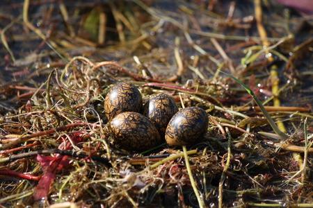 jacana: African Jacana Nest with Four Eggs