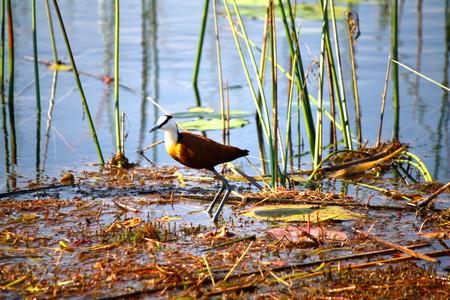 Okavango Delta: African Jacana standing in Okavango Delta