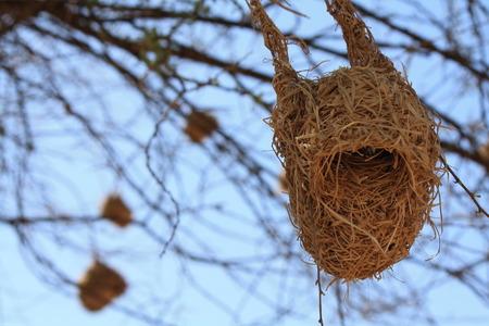 weavers: Weavers Nest in Tree