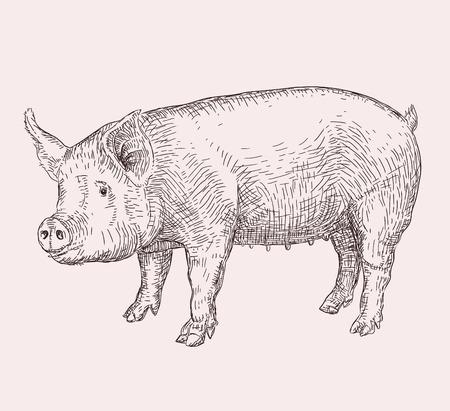 Hand drawn illustration of pig Illustration