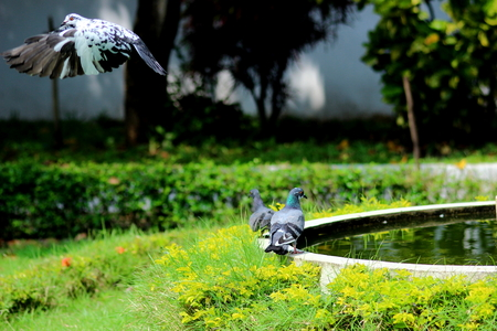 Pigeons fly photo