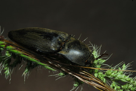 elateridae: Insects in the family Elateridae are commonly called click beetles