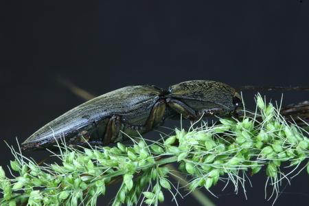 click beetle: Click beetle  on the grass. Stock Photo