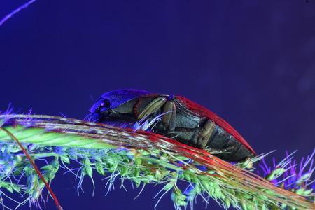 origen animal: Escarabajo de tecleo en la hierba.