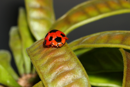 origen animal: Mariquita en árboles