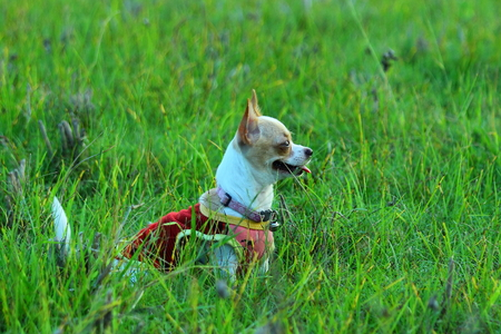 antecedents: chihuahua-dog Stock Photo