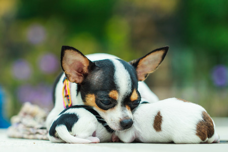 antecedents: Puppy, Puppies,Dog, Chihuahua