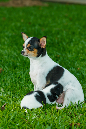 chihuahua puppy: Mother and puppy,chihuahua ,chihuahua puppy,dog,pet,Cute Stock Photo