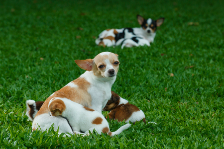 chihuahua puppy: Mother and puppy,chihuahua ,chihuahua puppy,dog,pet,Cute . Stock Photo