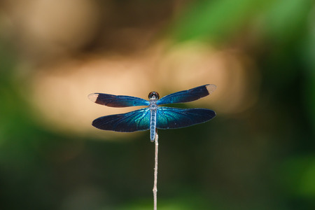 chaser: Dragonfly, insects, nature
