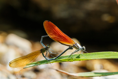 chaser: Damselfly,Dragonfly, insects. Stock Photo