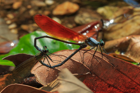 chaser: Damselfly,Dragonfly, insects Stock Photo