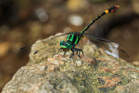 chaser: Dragonfly, insects. Stock Photo