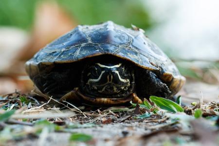 slow motion: Turtle,animal,Reptile.
