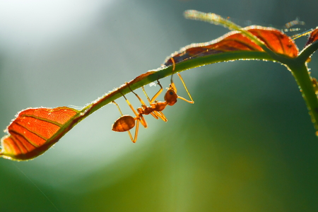 Ant, insect,Ant is on the leaf.