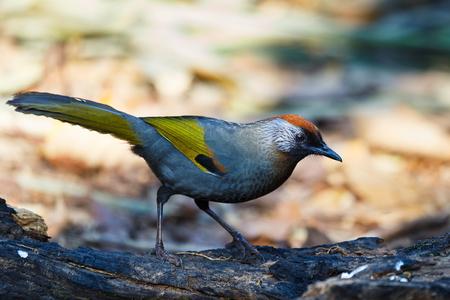 silver eared: Silver-eared Laughingthrush ,Birds of Thailand (Doi Sun Juh) Chiang Mai.