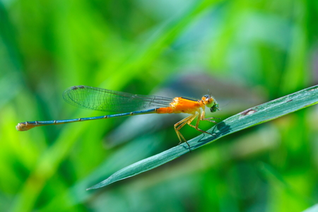Orange Damselfly, Damselfly, insects.