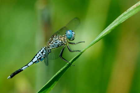 Blue dragonfly, dragonflies, insects. Stock Photo