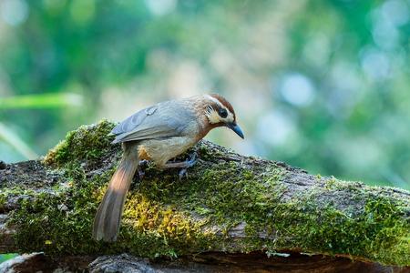 Birds,Pterorhinus sannio,Birds of Thailand(Doi Sun Juh) Chiang Mai. Stock Photo