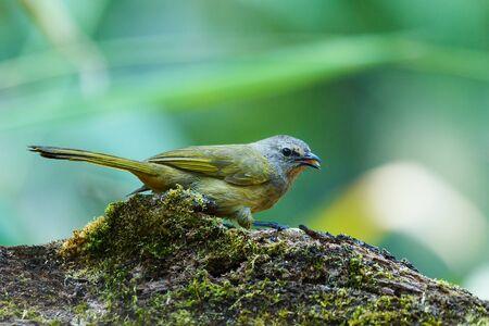 Crested Finchbill, Birds of Thailand(Doi Sun Juh) Chiang Mai.