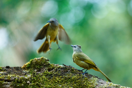Crested Finchbill, Birds of Thailand(Doi Sun Juh) Chiang Mai.