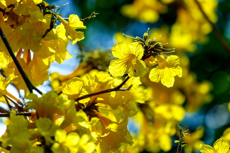Yellow flowers, Silver trumpet tree, Tree of gold, Paraguayan silver trumpet tree.