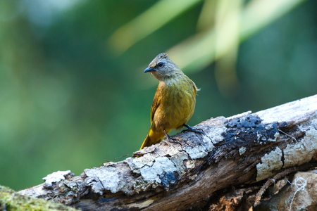 Birds ,Crested Finchbill, Birds of Thailand(Doi Sun Juh) Chiang Mai.