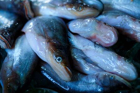 Notopterus notopterus , fresh fish, fresh food in Thailands market. Stock Photo