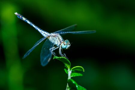 coleoptera: Dragonfly ,insect