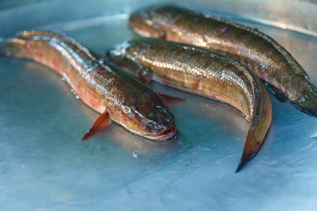 chevron snakehead: Striped snakehead fish,fish.
