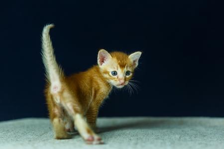tigre cachorro: Gato, gato tailandés