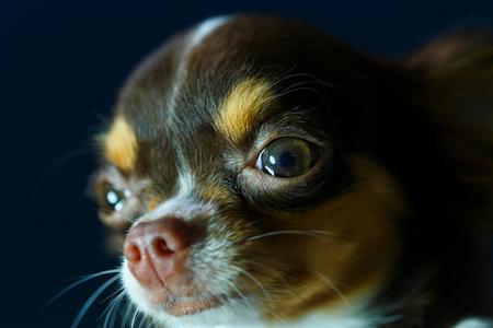 Chihuahua, cute, dog.