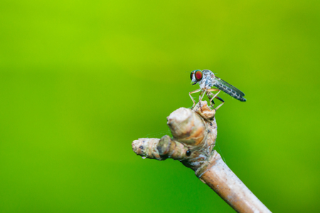 Insects, Robber fly,bug. Stock Photo