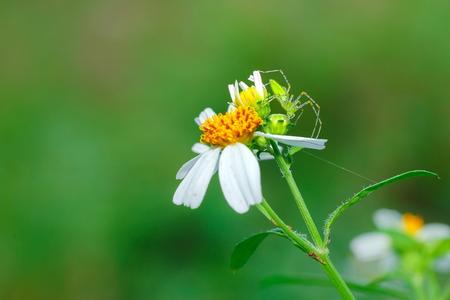 Araneae, Spider on a flower.