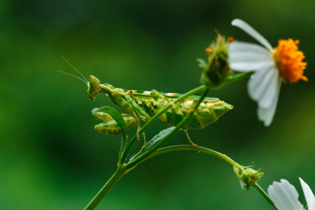 Mantis,Grasshopper,Insects.