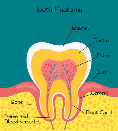Vector illustration of tooth anatomy. Medical banner or poster.  イラスト・ベクター素材