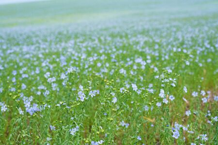 blooming flax field, field panorama and horizon blue sky. close-up of blue colors.