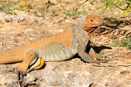 Wild lizard or iguana bearded dragon reptile animal sunny summer outdoor sits near grass on natural background