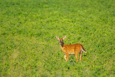 white tail deer: White Tail Deer Fawn